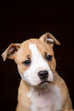 Cute Pit Bull puppy Stock Photo