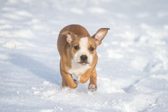 Cute Pit Bull puppy running in the snow Stock Photo