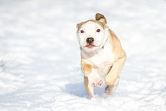 Cute Pit Bull puppy running in the snow Royalty Free Stock Image