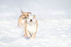 Cute Pit Bull puppy running in the snow Royalty Free Stock Images