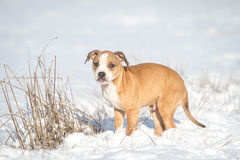 Cute Pit Bull puppy in the snow Stock Photography