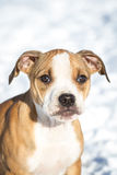 Cute Pit Bull puppy in the snow Royalty Free Stock Photo