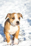 Cute Pit Bull puppy in the snow Royalty Free Stock Photography
