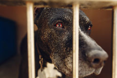 Cute pitbul dog in shelter cage with sad crying eyes and pointin. G nose, emotional moment, adopt me concept, space for text Royalty Free Stock Image