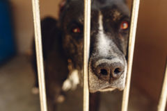 Cute pitbul dog in shelter cage with sad crying eyes and pointin. G nose, emotional moment, adopt me concept, space for text Royalty Free Stock Photos
