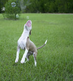 Cute Pitbull playing with bubbles royalty free stock photography