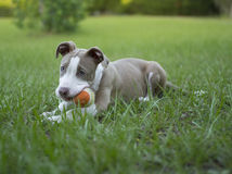 Cute Pitbull playing with her ball stock images
