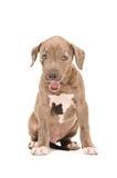 Cute pitbull puppy Stock Photos