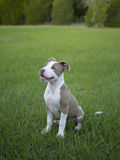 Cute Pitbull sitting in the grass. Cute Pitbull puppy sitting in the grass waiting for her ball stock image