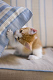 Cute play!. A cute domesticated kiitten playing with a blue cushion Royalty Free Stock Photography