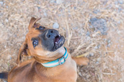 Cute playful Brown puppy royalty free stock photo