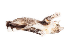 Cute Playful Calico Kitty Stock Photo