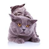 Cute playful cats Stock Images