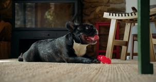 Cute playful french bulldog in living room. Funny adorable little french bulldog lays down on carpet in livingroom, breathes fast after running around, smiles stock video footage