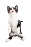 Cute Playful Kitten Sitting Up Stock Images