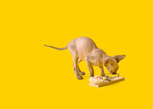 Cute playful kitten Sphinx with a mousetrap Royalty Free Stock Photography