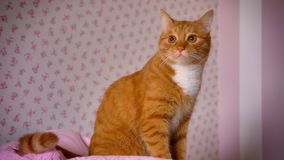 Cute playful red cat is sitting on pink bed at home and looking relaxed at room, satisfied cute home animal, indoor