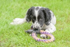 Playful spaniel puppy Stock Image