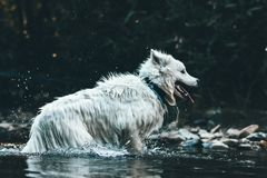 Cute playful white samoyed dog in the river with wet fur.  Royalty Free Stock Images