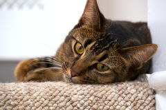 Playful young cat. Cute playful wide-eyed part Abyssinian young male cat watches curiously lies on the top stair watching Stock Photo