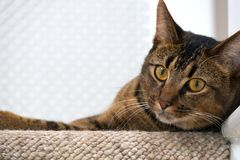 Playful young cat. Cute playful wide-eyed part Abyssinian young male cat watches curiously lies on the top stair watching Stock Photography