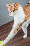 Cute playing cat, domestic theme Stock Photos
