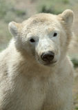 Cute polar bear cub. Portrait of a cute polar bear cub Stock Images