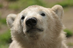 Cute polar bear cub. Portrait of a cute polar bear cub Royalty Free Stock Photo
