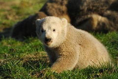 Cute polar bear cub. On the grass Royalty Free Stock Photography