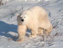 Cute polar bear cub Stock Photos