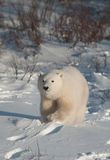 Cute polar bear cub. Standing ion snow covered ground outside of Churchill, Manitoba Stock Images