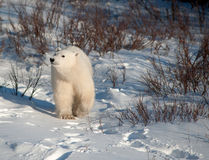 Cute polar bear cub. Standing ion snow covered ground outside of Churchill, Manitoba Royalty Free Stock Images