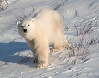 Cute polar bear cub. Standing ion snow covered ground outside of Churchill, Manitoba stock image