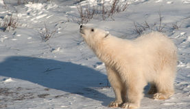 Cute polar bear cub Royalty Free Stock Photo