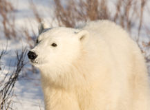 Cute polar bear cub. Standing ion snow covered ground outside of Churchill, Manitoba Royalty Free Stock Photography