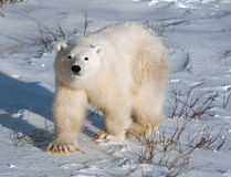 Cute polar bear cub. Standing ion snow covered ground outside of Churchill, Manitoba Stock Photography