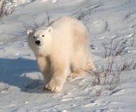 Cute polar bear cub stock images