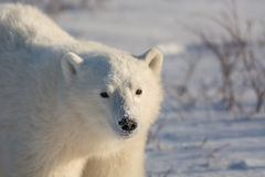Cute polar bear cub. Standing ion snow covered ground outside of Churchill, Manitoba Royalty Free Stock Photo