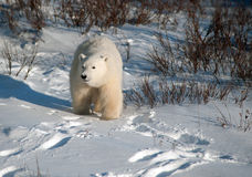 Cute polar bear cub. Standing ion snow covered ground outside of Churchill, Manitoba Stock Photo