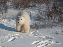 Cute polar bear cub Stock Photography