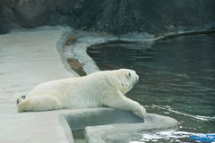 Cute polar bear near the pool. Cute polar bear at rest near the water Royalty Free Stock Photo