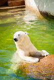 Cute polar bear in water. Cute polar bear in green water Royalty Free Stock Images