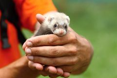 Cute polecat Royalty Free Stock Photography