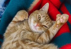 Free Cute Polydactyl Ginger Cat Looking At Camera. Stock Photography - 187502252