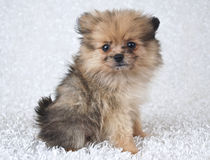 Cute Pom Puppy Stock Images