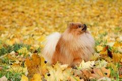 Cute pomeranian dog. Dog in autumn park. Pomeranian in autumn yellow leaves. Serious dog. Stock Photo