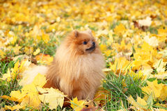 Cute pomeranian dog. Dog in autumn park. Pomeranian in autumn yellow leaves. Serious dog. Stock Image