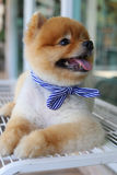 Cute pomeranian dog happy smile laying on seat bench waiting Royalty Free Stock Images