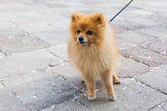 Cute Pomeranian dog at the leash Stock Image