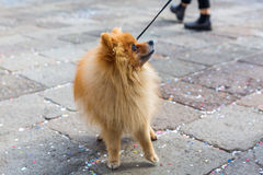 Cute Pomeranian dog at the leash Royalty Free Stock Image